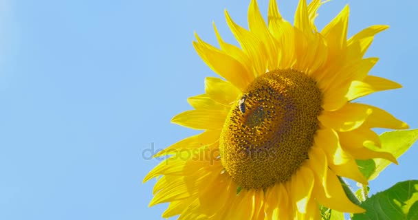Včela, pracující na slunečnicový modré oblohy a slunečné počasí