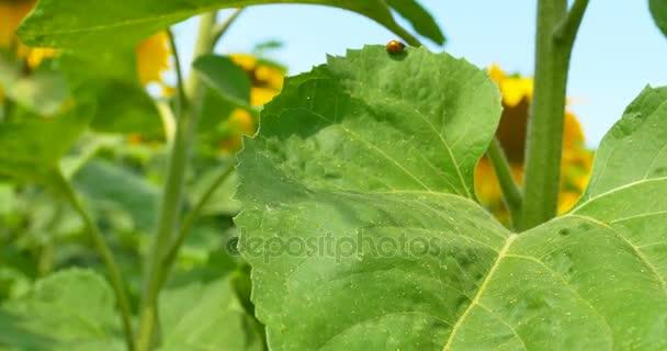 Detail venkovní scéna s Slunéčkovití brouk červená Beruška na slunečnicový list