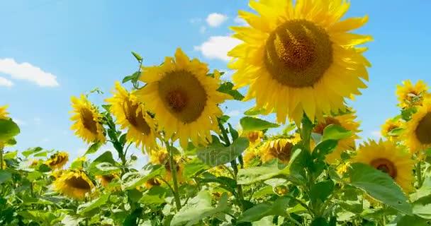 Slunečnice v štěstí, modrá obloha a slunečné počasí