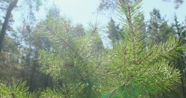 Tűlevelű faágak a napon. Közelkép