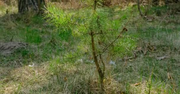 Jehličnaté větve stromů na slunci. Detailní záběr