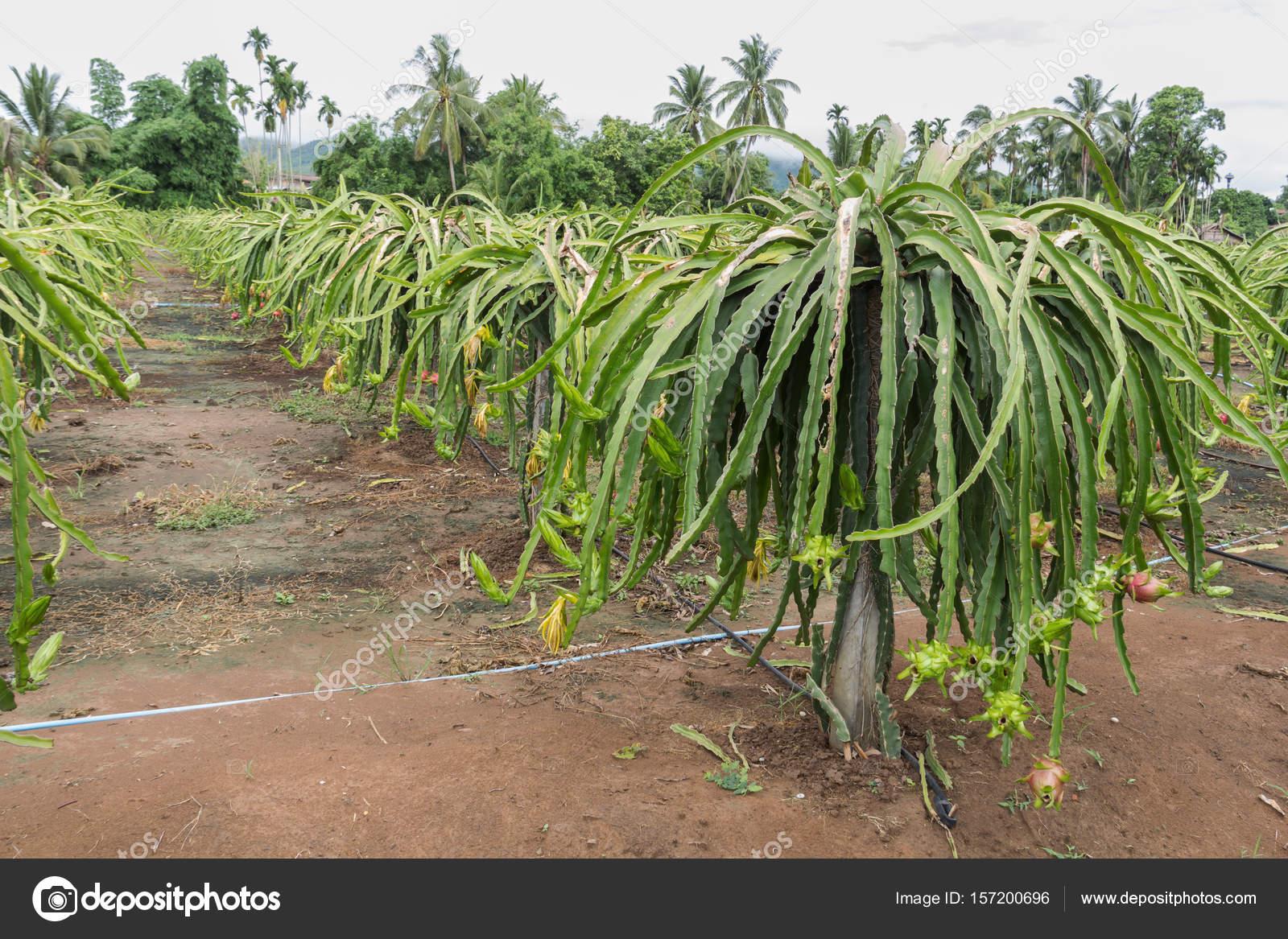 Fruit du dragon pitaya sur arbre photographie witoon214 157200696 - Arbre fruit du dragon ...