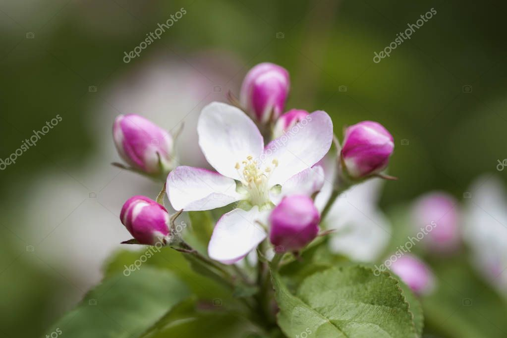 Spring flowering wild apples in garden. Branch of blooming wild apple-tree with tender pink bud delicate flowers, spring sunny day
