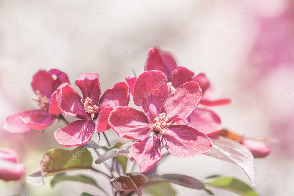 Spring flowering wild apples in the garden. Pollination of flowers of apples. Apple blossoms, spring sunny day, copy space