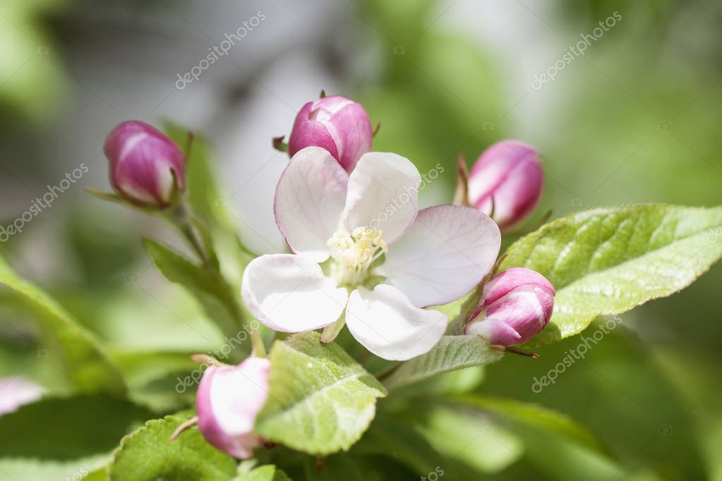 Branch of blooming wild apple-tree with tender pink bud flowers, spring sunny day