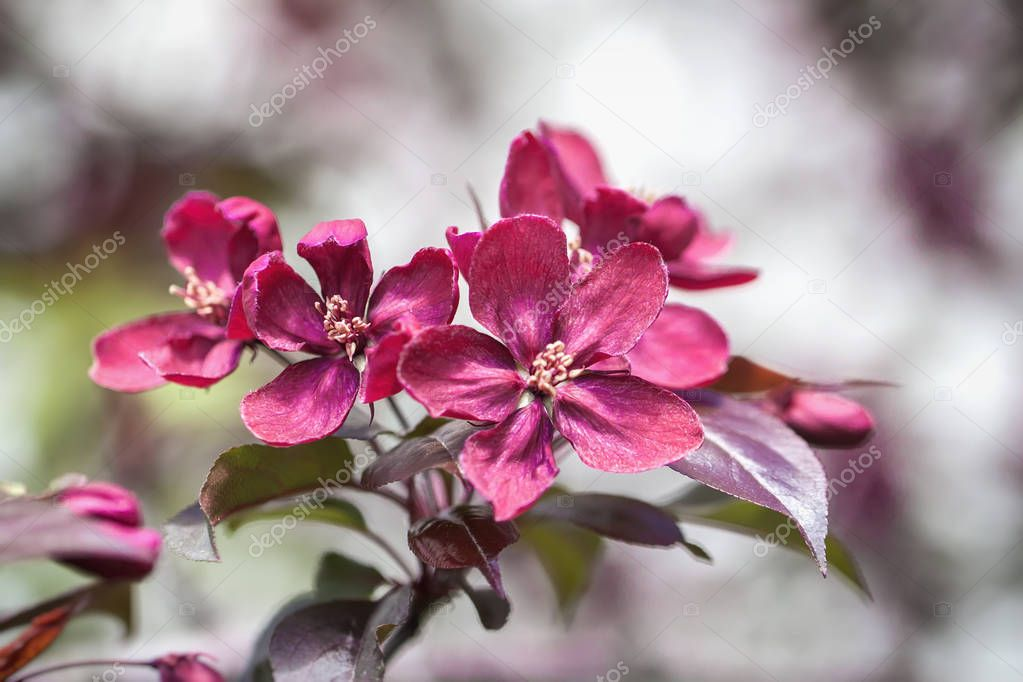 Spring flowering wild apples in the garden. Pollination of flowers of apples. Close-up of violet Crabapple blossoms