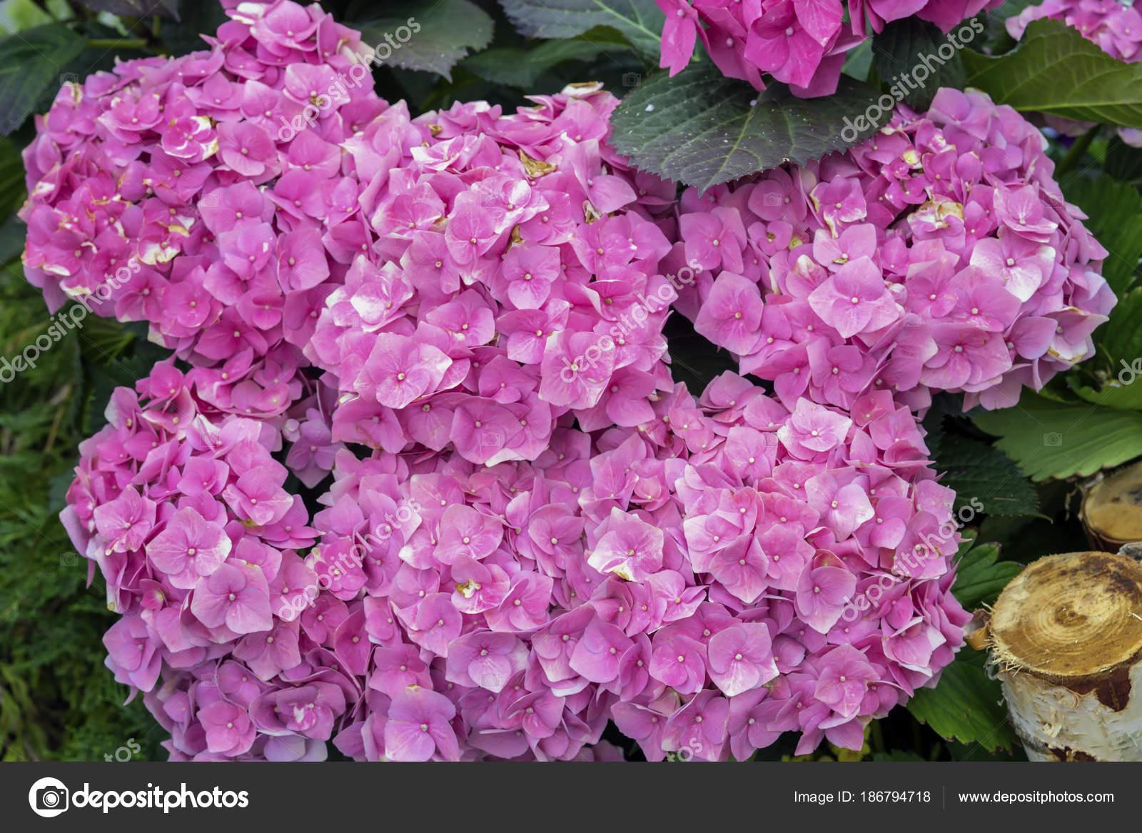 Primer plano de flores de hortensia hortensia hydrangea for 20 plantas ornamentales