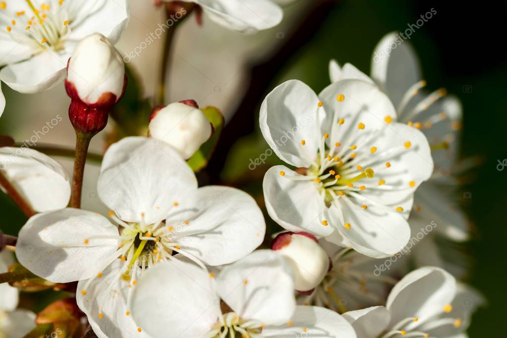 White sweet cherry blooming close-up, natural background
