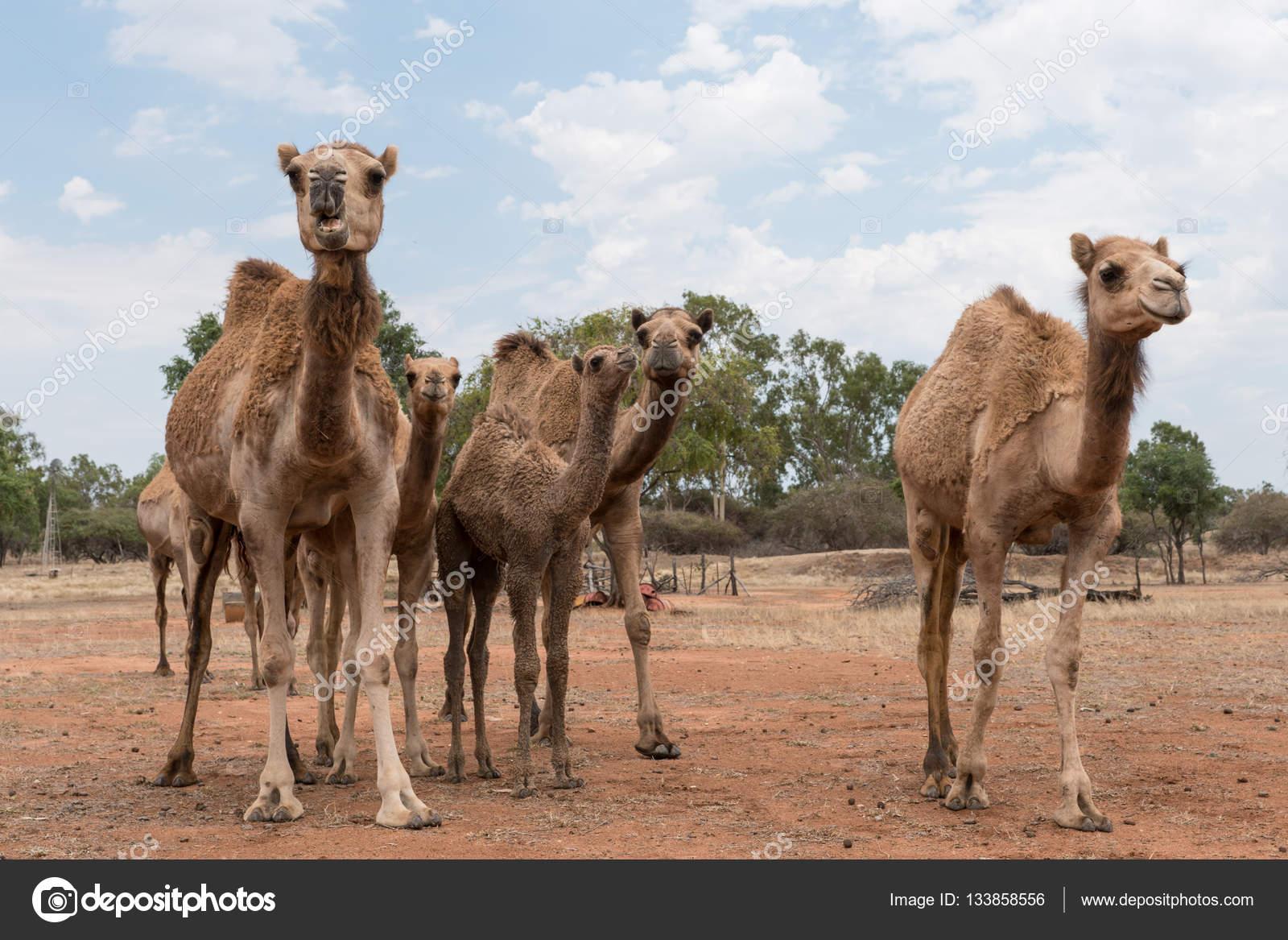 kameler i australien