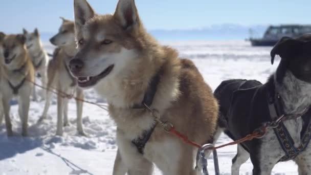Steadicam portrét psích spřežení týmu zbytek hejna vůdce tlama tváře. Červené barevné srsti, které dýchá nadýchané šťastný husky páry chladně frost sněhová pole. Zimní slunečný den modrá obloha Bajkal. Podrobnosti o Dolly