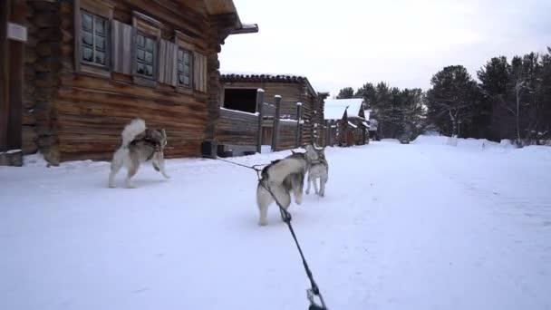 Klettergurt Hund : Ungewöhnliche ego skating ausrüstung klettergurt husky malamute
