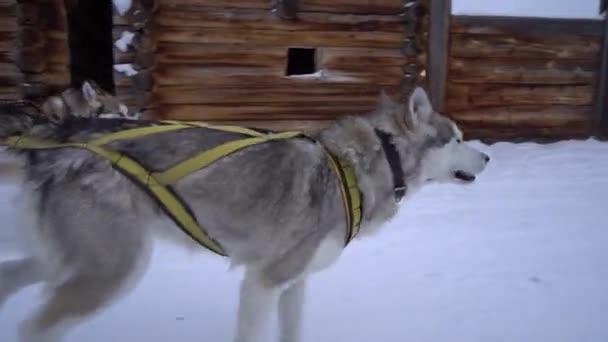 Jedinečný detail rychle běží husky malamut psi posádky strčil jazyk páry obličej sáňky sáně bruslení. Rychle spusťte saně. Veselé domácí zvířata. Dřevěné domy vesnice. Výdrž přítel. Zimní sníh. 60fps Steadicam