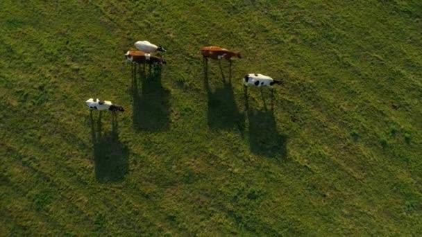 Kühe Bullen Viehherden Herden Herden eine große Gruppe zu Fuß entlang der grünen sonnigen Feld Weide. Rinderzucht. Ländliche Landschaft. Milchwirtschaft. Flucht nach vorn