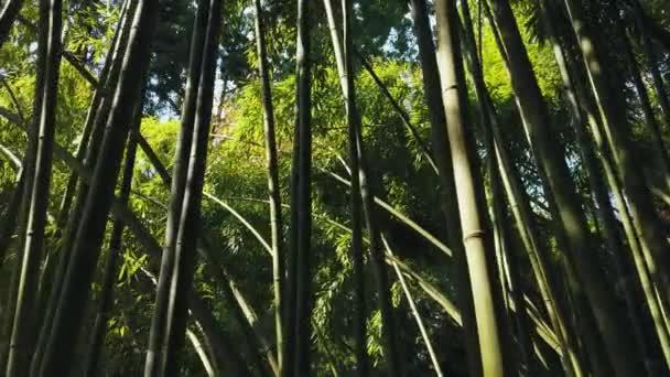 Dolly bokem v bambusovém lese vysoké kmeny stébla. Světlo skrz listy zelené koruny. Věčně zelené subtropy Asie Japonsko. Nejrychlejší růst v neproniknutelné džungli. Dřevo národního parku