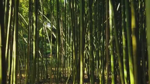 Gimbal vorwärts in Bambuswald hohe Stämme Stiele. Immergrüne Subtropen. Der am schnellsten wachsende undurchdringliche Dschungel der Welt. Licht durch Blätter der grünen Krone. Nationalpark abstrakter Wald