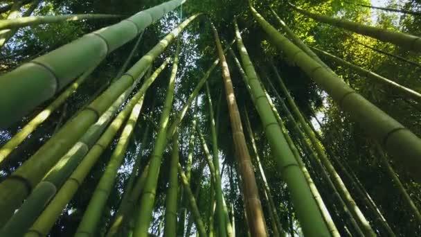 Filmreife Bambuswälder, hohe Stämme, die sich von unten nach oben neigen. Licht durch Blätter der grünen Krone. Immergrüne Subtropen in Asien. Der am schnellsten wachsende undurchdringliche Dschungel der Welt. Gimbal vorwärts