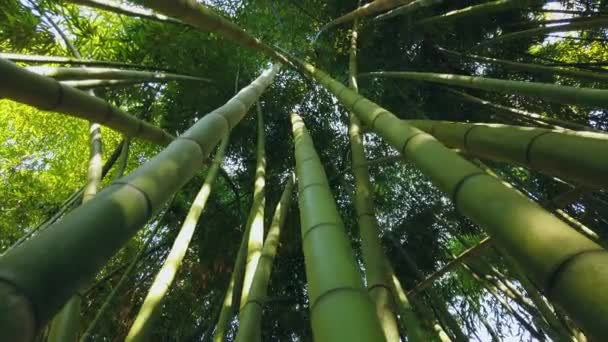 Beautiful forest bamboo tall old trunks stalks from bottom to top light through Leaves of green crown. Perennial evergreen subtropics Asia. Fastest growing on earth Impenetrable jungle . Gimbal wide