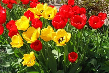 Beautiful red and tulips, blooming in a garden in spring. Russia.