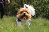 Zlobivá tvář Biewer Terriera. Závod psů, který je pouze v Deutchlandu a České republice. Biewer Yorkshire Terrier běží. Zachycen v pohybu. Otevři pusu, vystrč jí jazyk. Rychlostní závodník. Malý ďáblík.