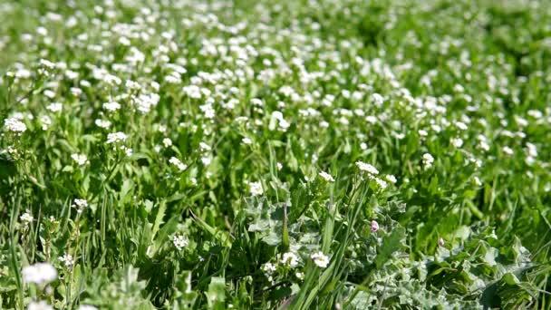 weiße Blumen auf grünem Gras — Stockvideo © dsimakov-foto.mail.ru ...