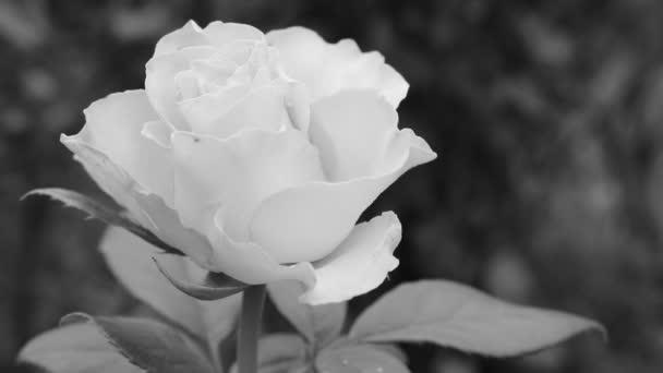 Monochromatické video růže. Videofon s černou růží. Monochromatická růže. Černožluté trendy v bezbarvém světě.
