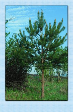 Forest nature in Ukraine. Coniferous tree on a background of blue sky. Photo for background on phone and tablet.