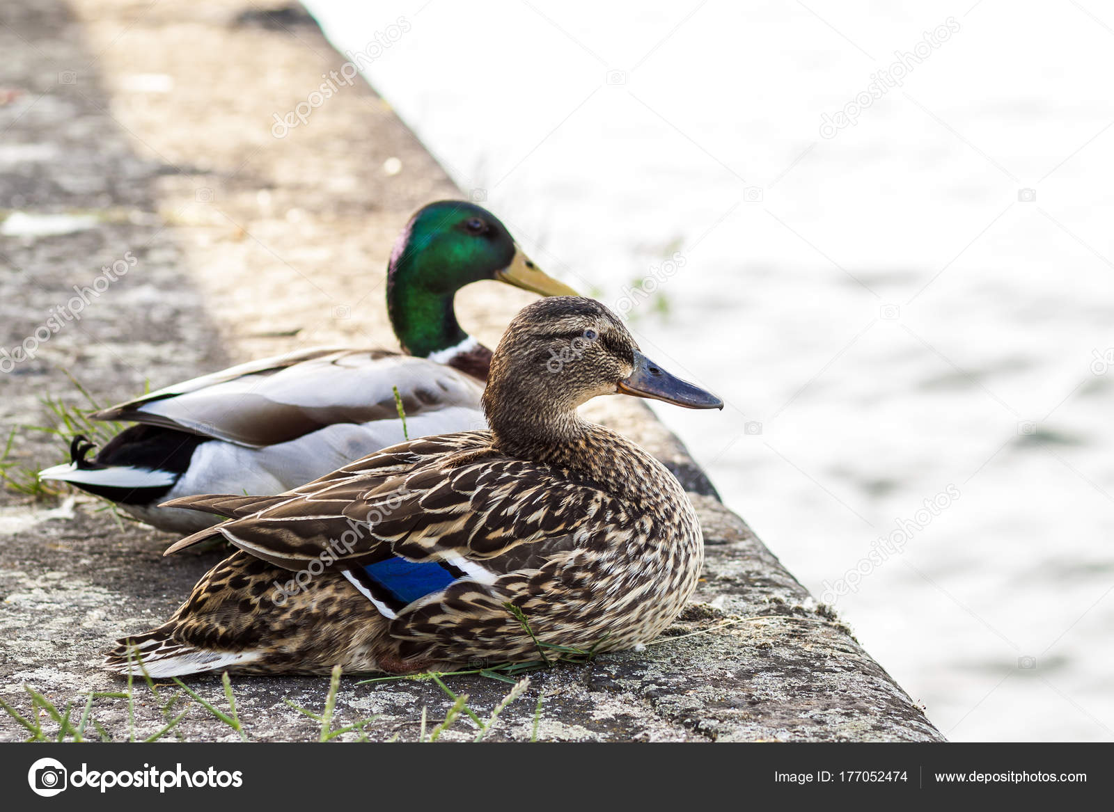 Two Ducks Male And Female Resting Near A River Stock Photo