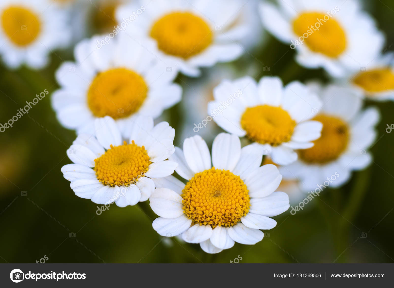 Close up little white daisy flowers stock photo bilanoli close up little white daisy flowers photo by bilanoli izmirmasajfo