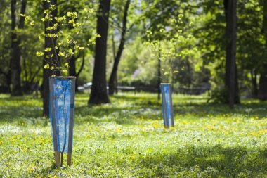 Beautiful view of row of young green saplings trees with blue pl