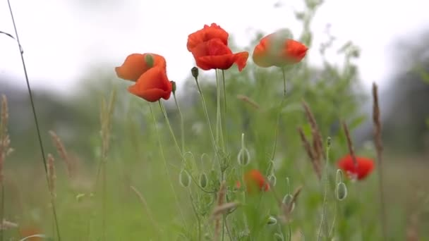 Red poppy flowers blooming in green spring field.