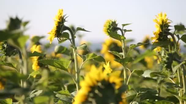 Zblízka žluté slunečnice pohybující se za mírného větru v zeleném letním poli.