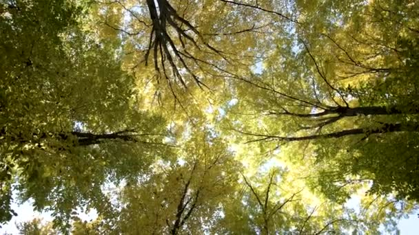 Őszi erdő világos narancssárga és sárga levelekkel. Sűrű erdők napsütéses őszi időjárás.