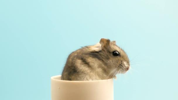 Detailní záběr malého legračního miniaturního křečka. Chlupatý a roztomilý Dzhungar rat doma.