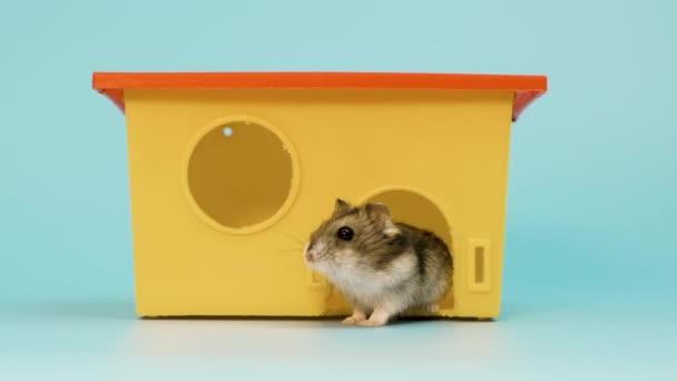Großaufnahme eines kleinen lustigen Miniatur-Dschungelhamsters, der an einem kleinen gelben Plastikrattenhaus sitzt. Flauschige und süße Dzhungar-Ratte zu Hause.