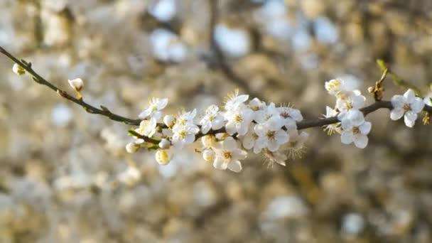 Detailní záběr čerstvých bílých kvetoucích květin na větvích stromů na jaře.