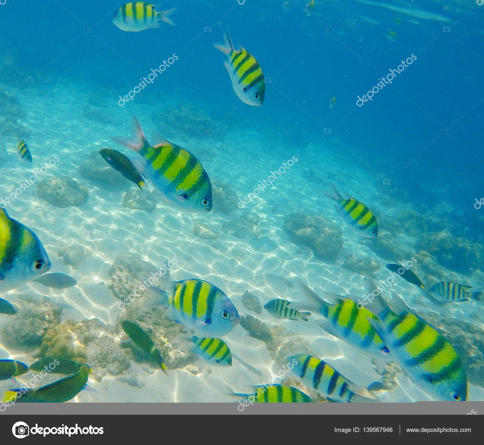 Black and yellow tropical striped fish