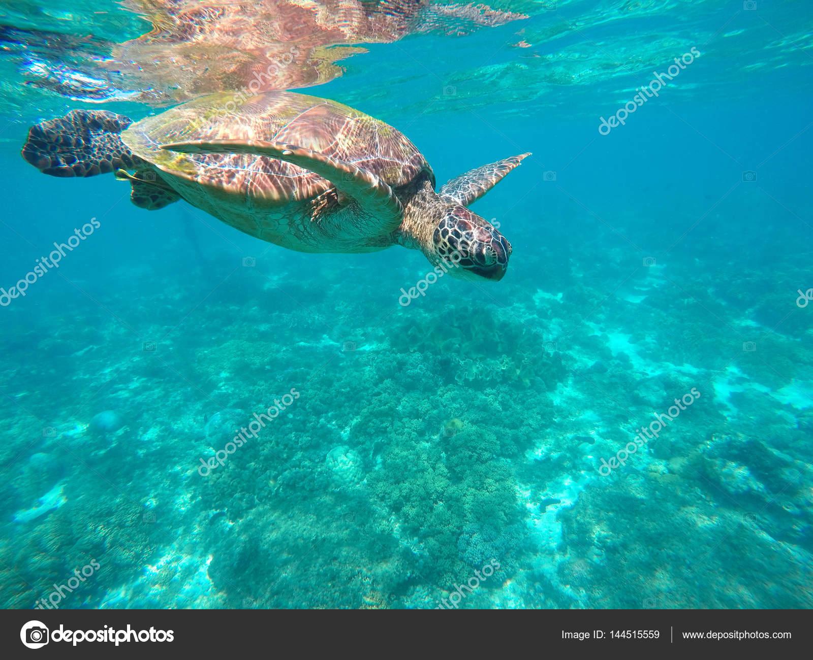 Tortuga marina en aguas de color turquesa. Tortuga verde cerca de ...