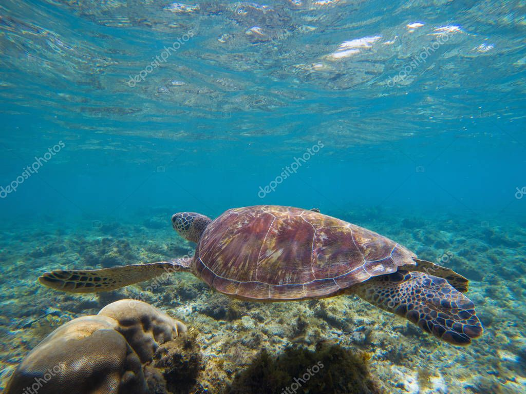 Sea Turtle In Shallow Sea Water By The Coral Reef. Oceanic
