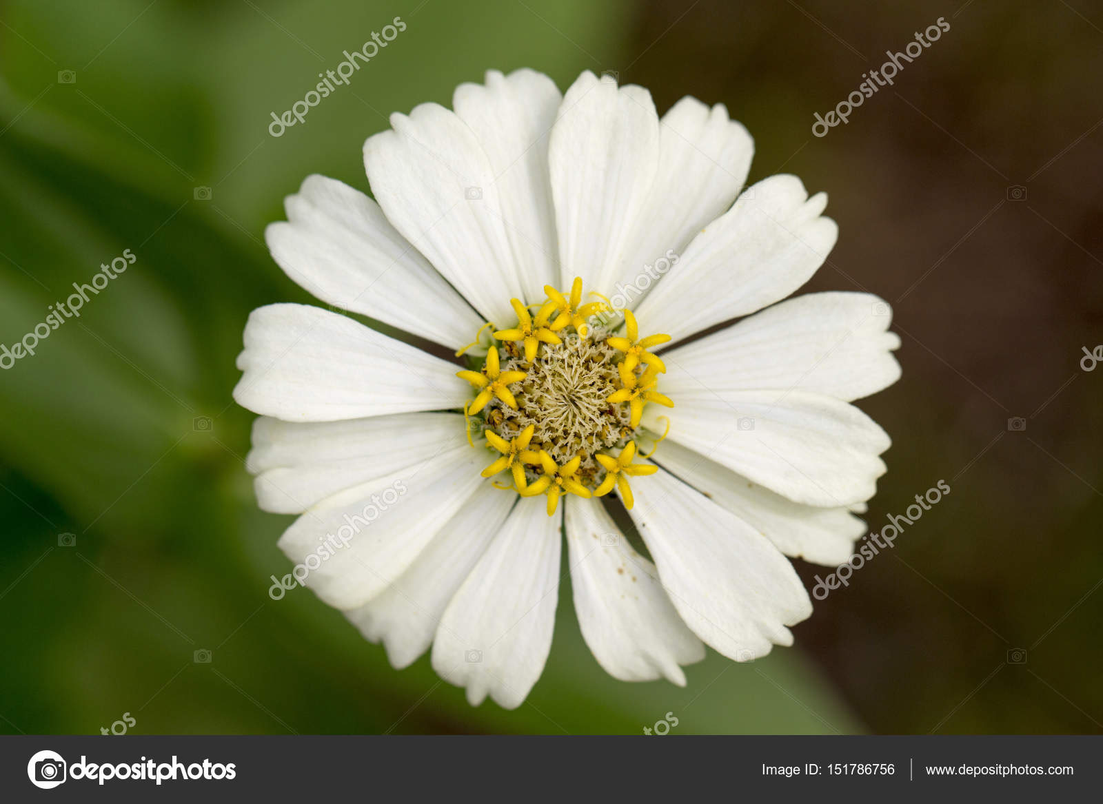 Summer Meadow Tropical Flower With Yellow Stamen And White Petals