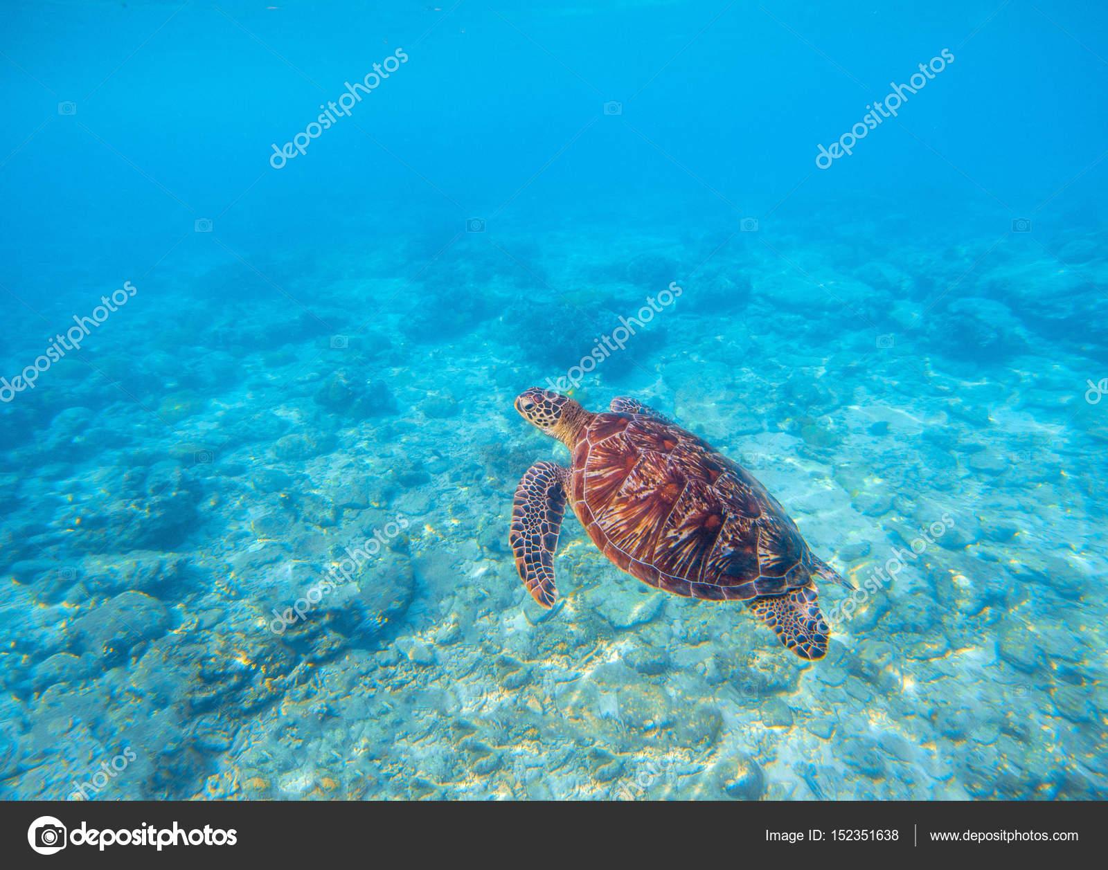 marine tortoise in water olive green turtle underwater photo sea