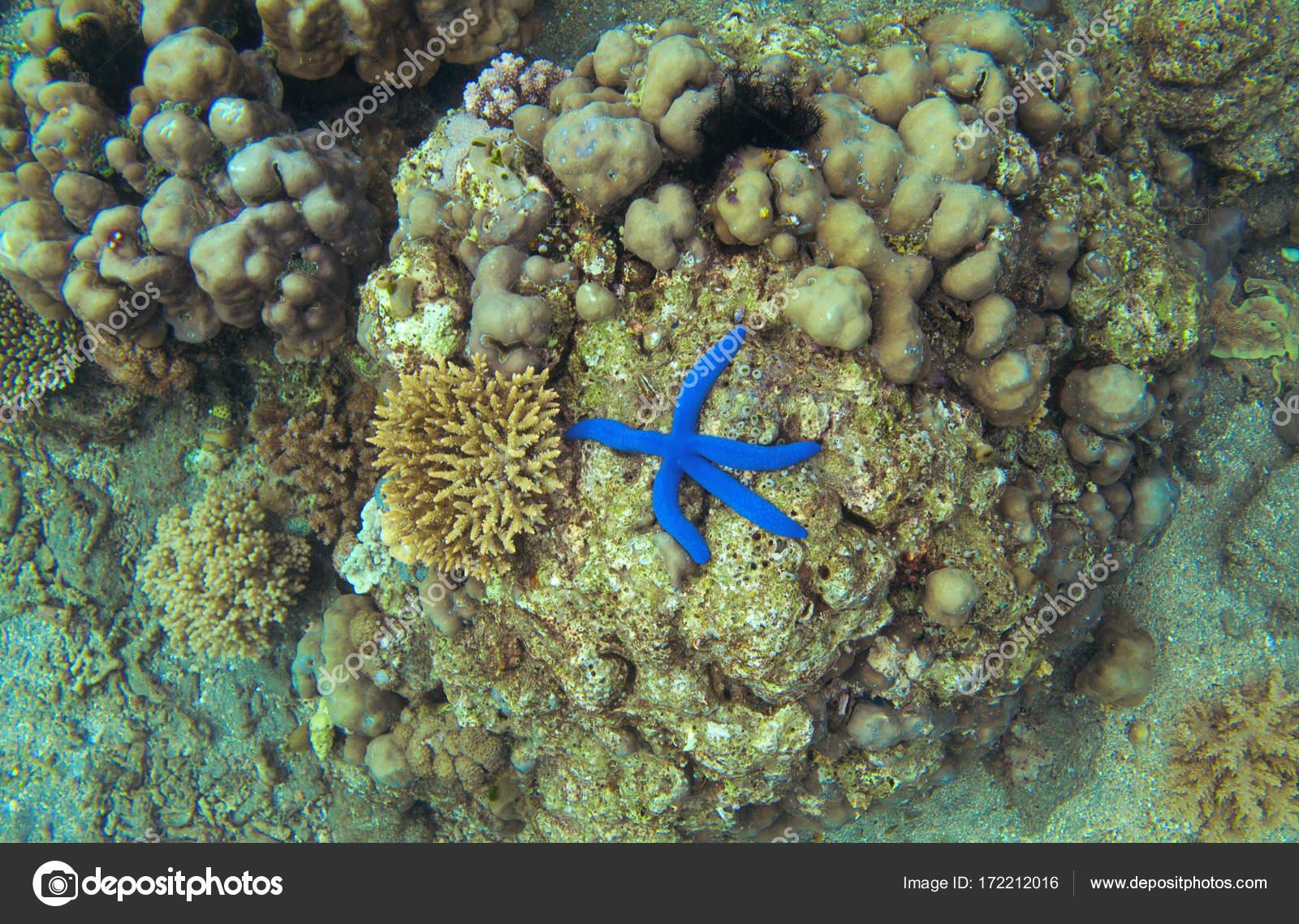 coral reef blue starfish top view starfish sea shore underwater