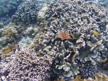 Pink feather duster worm on coral. Tropical sea bottom ecosystem. Coral reef animals. Exotic island lagoon snorkeling and diving. Tropical seashore underwater photo. Coral reef undersea landscape