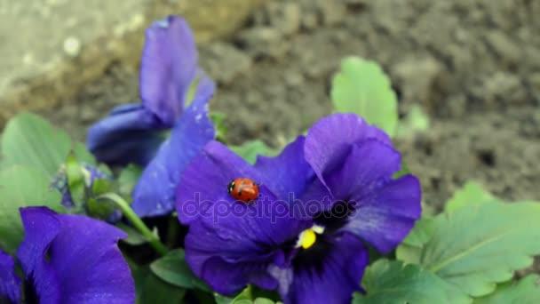 Close-up coccinella passeggiate sul fiore Viola Tricolor con fogliame verde