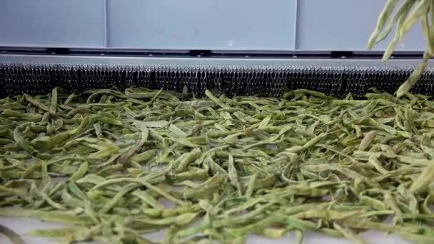 getrocknete grüne Bohnen am Band. Trocknen auf industrieller Mikrowelle. Zeitlupe