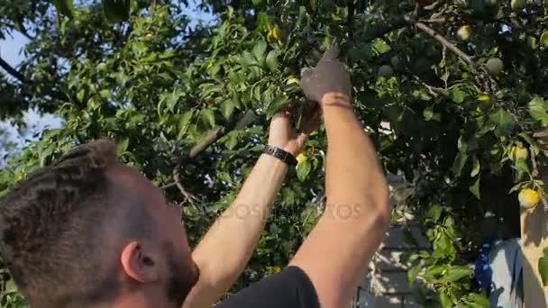 Egy fiatal férfi könnyek a szilva a fáról a kertben
