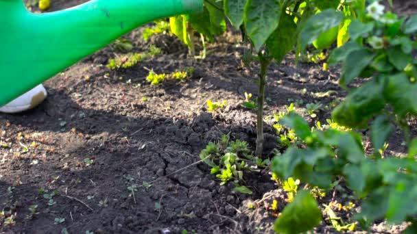 Zalévání zahrady rostliny od konev. Zpomalený pohyb
