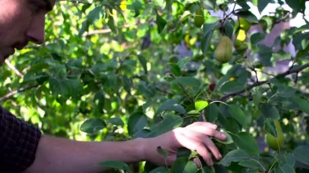 Muž sbíráme zralé čerstvé hrušky ze stromu v zahradě