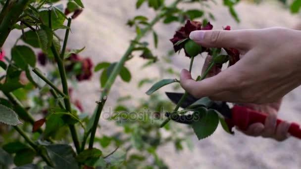 Detailní záběr rukou prořezávání růží s nůžky. Zpomalený pohyb natáčení