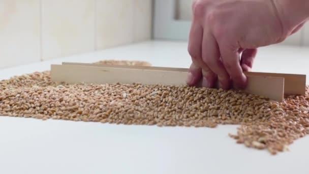 A laboratóriumi asszisztens keveri a gabona az asztalon. Minőségi ellenőrzése