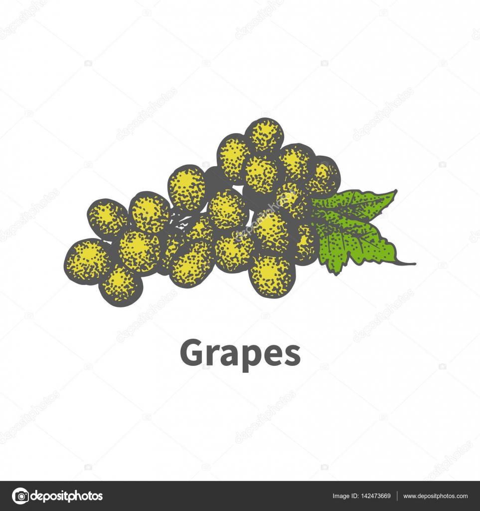 Rucne Kreslene Zluty List Vinne Revy Zrale Hrozny Zelene Stock